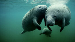 West-indian-manatee-group