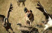 Hyenaandvultures