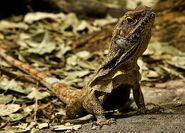 Frilled-lizard-4