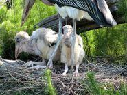 Cic-cico-marabou-stork-leptoptilos-crumenifer-with-chicks-jax-zoo-by-lee-c