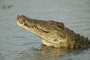 01-nile-crocodile-florida