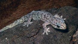 Care-marbled-gecko cf60409b449cfd77