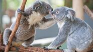Koalas-mate 45371c0c6fcd2b00