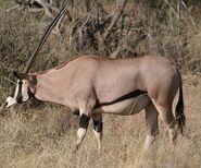 Beisa Oryx, Samburu NR, Kenya