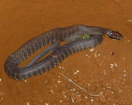 Tiger snake 2