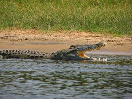 Crocodylus niloticus6