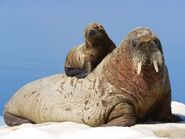 Walrus-mother-and-calf 9025 600x450