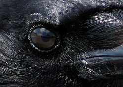 File:Thecrowseesyou.png