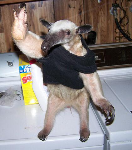 File:Anteaters.jpg