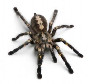 TarantulaSpider