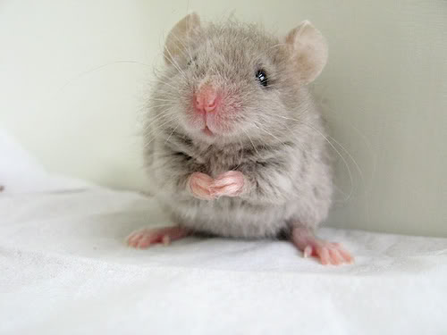 File:Cute-mouse-i-found-on-the-internet-D-egomouse-16282072-500-375.jpg