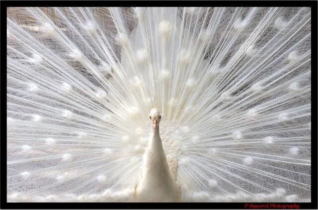 File:WhitePeacock.jpg
