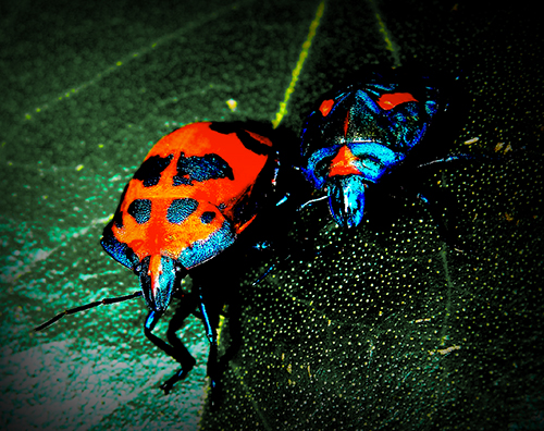 File:Cotton Harlequin Bugs.jpg