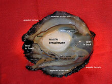 Abalone organs