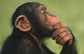 Thinking chimps 02