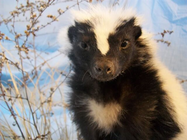 File:Skunks005.jpg