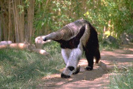 File:Anteater1.jpg