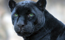 Black panther spain