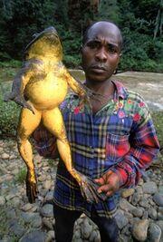 Goliath frog 2