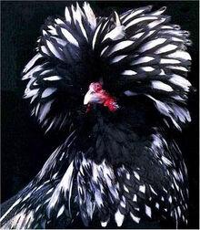 Weird and Strange Chicken 12