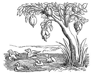 Barnacle Geese on tree engraving