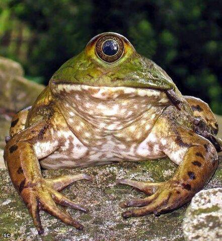 File:Frog.jpeg
