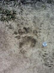 Bearfootprint