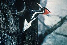 300px-Ivory-billed Woodpecker by Jerry A. Payne