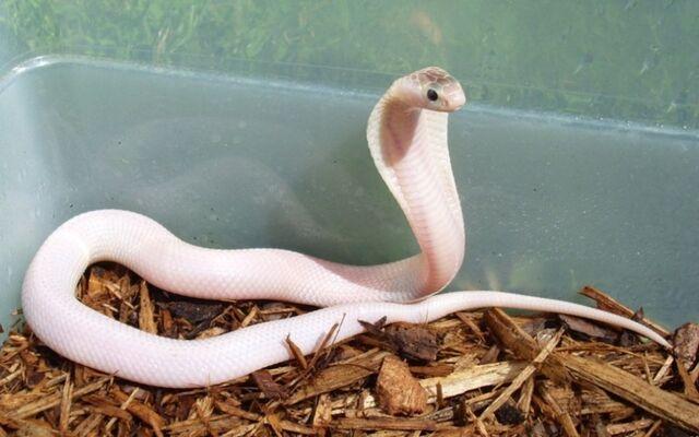 File:Albino King Cobra.jpg