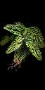 File:Green Blossom II.png