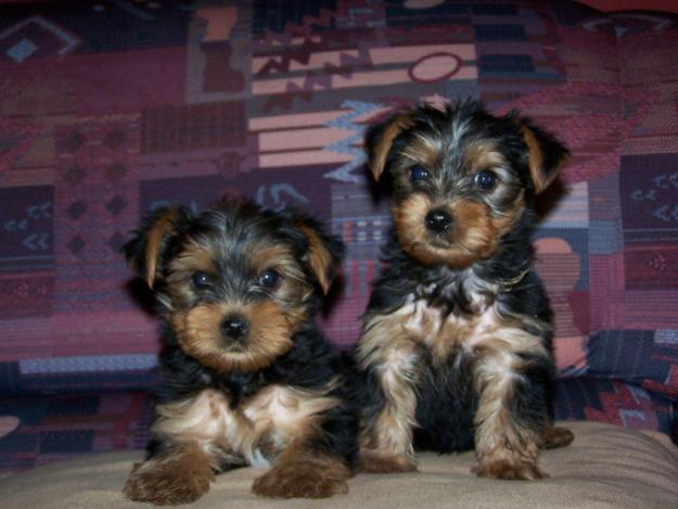 File:Breeta and teacup my yorkies.jpg