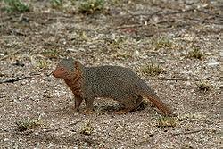 File:250px-Serengeti Mongoose.jpg