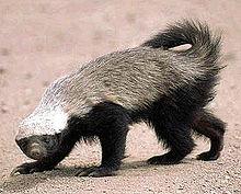 File:220px-Honey badger.jpg