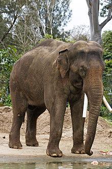 File:220px-Asian elephant - melbourne zoo.jpg