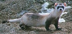 File:250px-Black footed ferret cropped.jpg