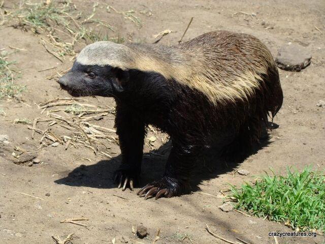 File:Honey Badger.jpg
