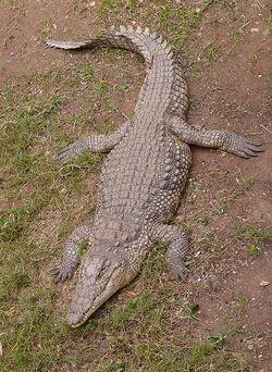 NileCrocodile-SRG001c