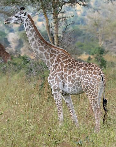 File:Giraffe Mikumi National Park.jpg