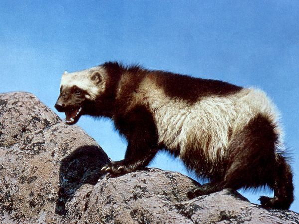 File:Wolverine 760 600x450.jpg