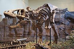 250px-Tyrannosaurus Rex Holotype