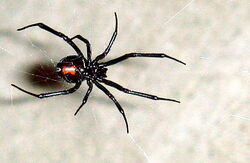 Black Widow 11-06