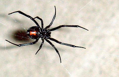 File:Black Widow 11-06.jpg