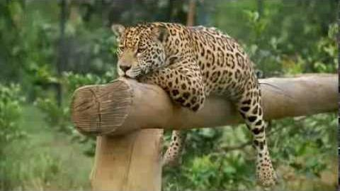 BBC Natural World Jaguars Born Free Natural World Special full documentary 2013