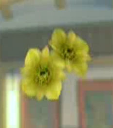 File:DOAXBVUnknownYellowFlowers.jpg