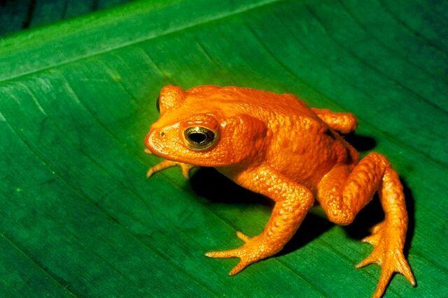 File:Golden Toad.jpg