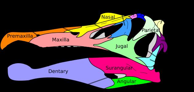 File:630px-Spinosaurus skull en svg.png