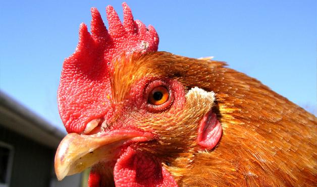 File:10 Rooster-Animal-Noises-2.jpg
