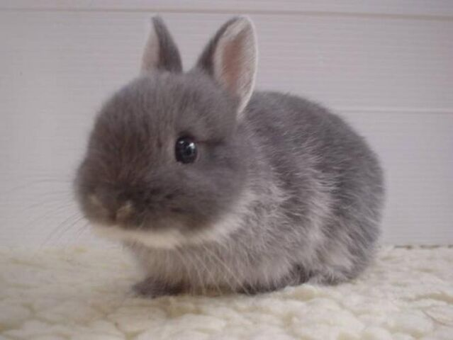 File:Wanted-bunny-rabbit 50154511.jpg