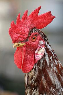 File:Rooster portrait2.jpg