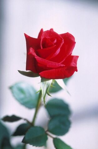 File:Red-rose-photography w475 h725.jpg